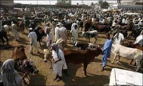 khyber agency eid cattle